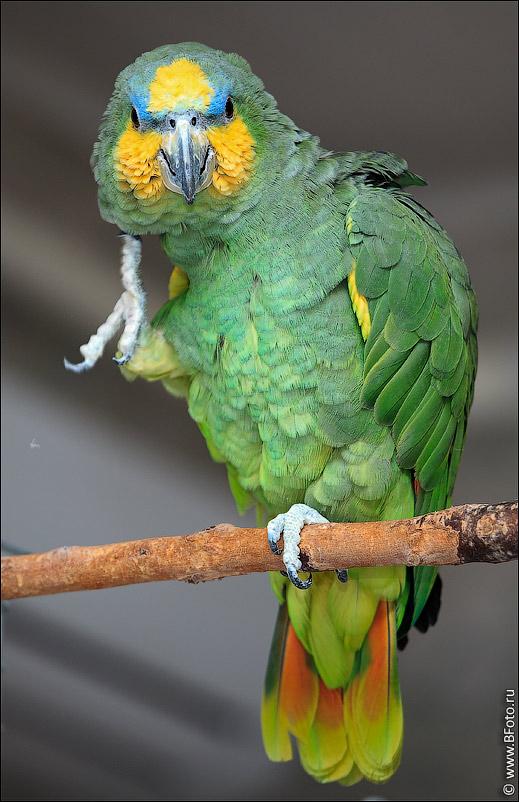 Всё о попугаях неразлучников - 84